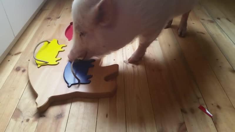 Интеллект свиньи