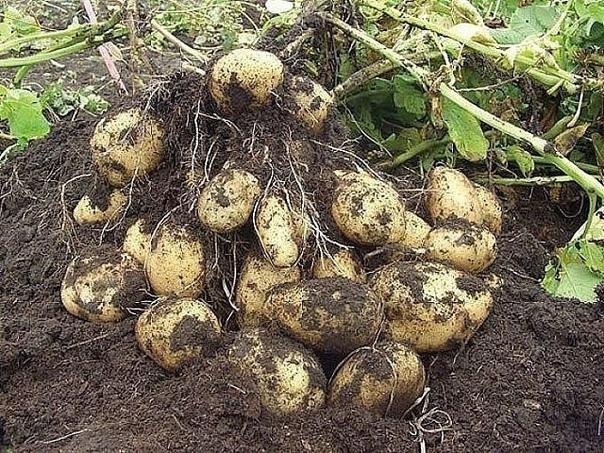 Секретные технологии выращивания картошки. А какая красивая картошка вырастает: крупная, размером с два кулака, не меньше!Если хозяйничать разумно, можно вдоволь вырастить огородины на