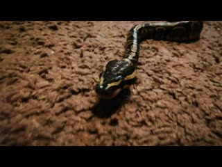 То чувство, когда дома по полу ползёт змея