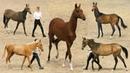 Ахалтекинские ДЕТКИ - ринг ГОДОВАЛЫХ жеребят. Чистокровные лошади Akhal-Teke выставка ИППОсфера
