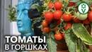 СВЕЖИЕ ДОМАШНИЕ ПОМИДОРЫ ЗИМОЙ. Выращивание томатов в горшках