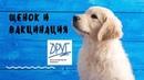 Щенок и вакцинация. Необходимая вакцина. Вакцинация собаки. Ветеринар дает рекомендации.