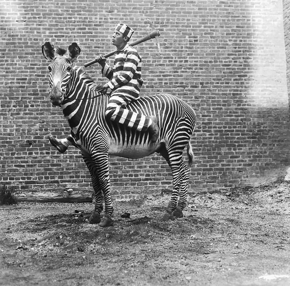 Попытки приручить зебр