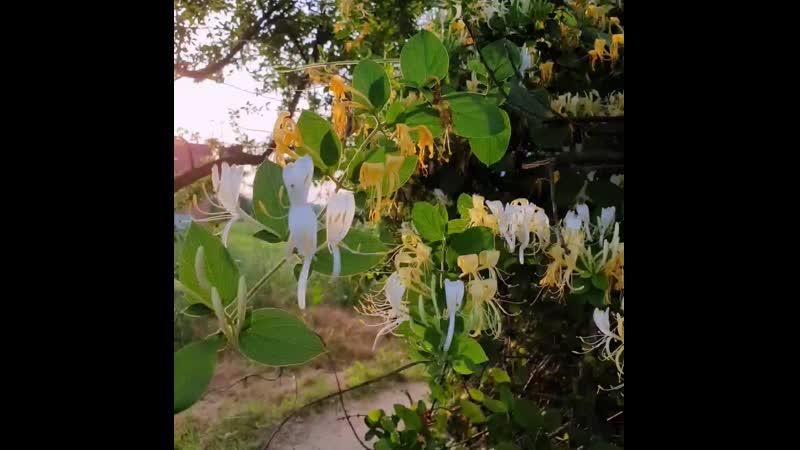 Обвивающая краса и пьянящий аромат жимолости каприфоль Lonicera caprifolium