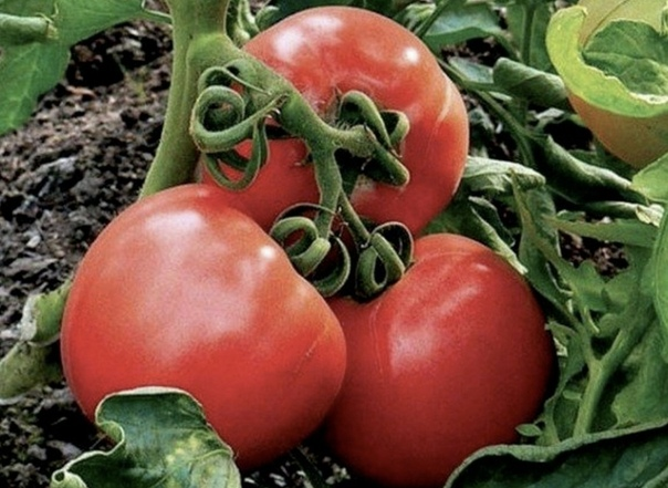 Подкapмливать помидоры нужно через 2 недели с момента посадки и до середины августа