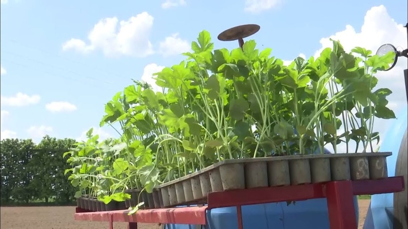 Посмотрите на эксперименты белорусских аграриев арбуз начали высаживать в открытый грунт