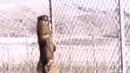 Волк переходит государственную границу