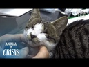 Blind Cat Wants To See A Rescuer's Eyes To Say Thanks For Taking Her Home   Animal in Crisis EP125