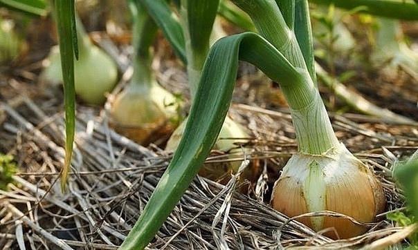 Четыре простых совета для получения большого урожая лука