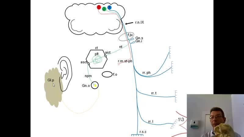 Языкоглоточный нерв Анимационная схема проф В А Изранов