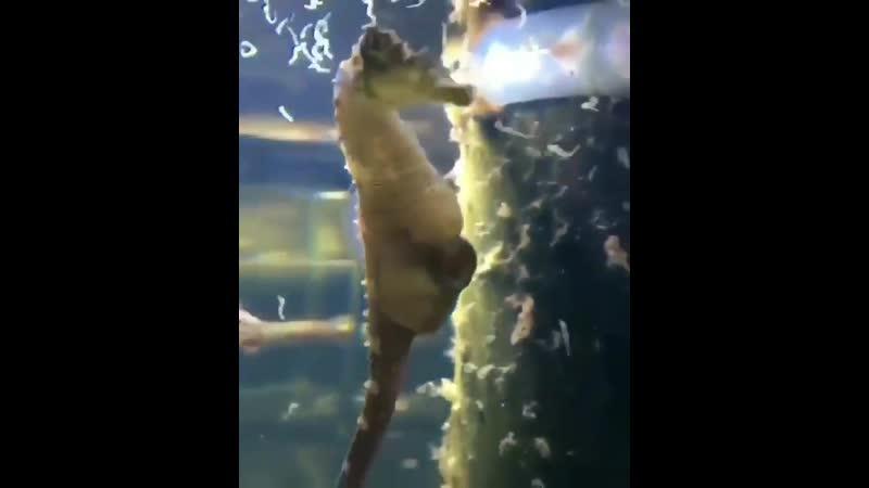 Самец морской конек рожает много деток Рруппа Опасная ПРанета