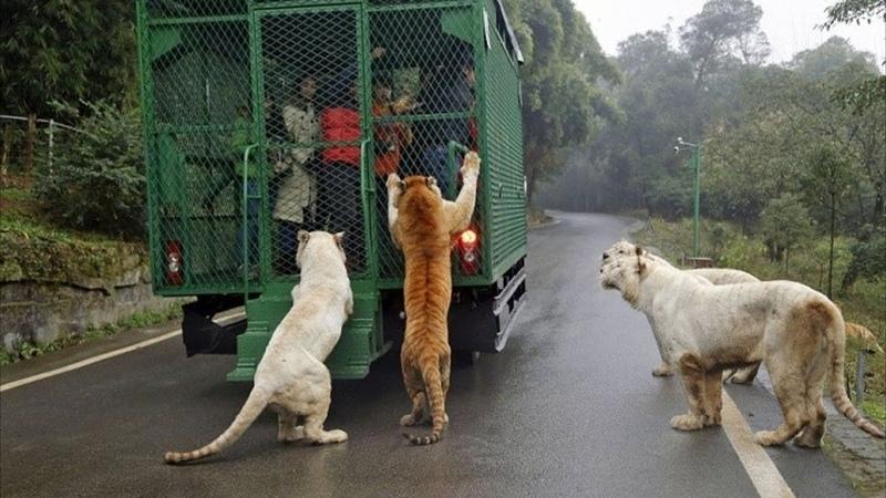 Дикие звери окружили грузовик с людьми то что было дальше не укладывается в голове