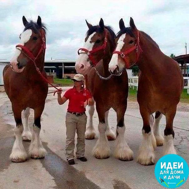 Лошади породы Клайдесдаль, рост в холке до 183 см!!