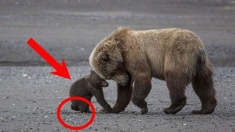 Медведица РИСКУЯ ВСЕМ вывела медвежонка к людям Ему СРОЧНО нужна была помощь