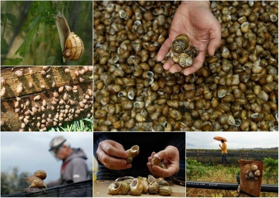 Бизнес-идея: Разведение виноградных улиток Разведение виноградных улиток