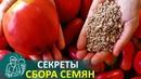 Выращивание рассады 🌿 Как собрать семена помидор по технологии Гордеевых