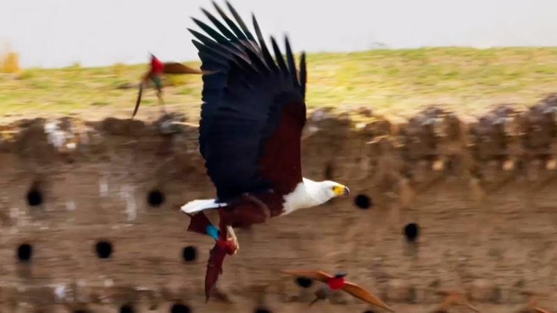 Eagle Plucks Prey in Flight A Perfect Planet BBC Earth