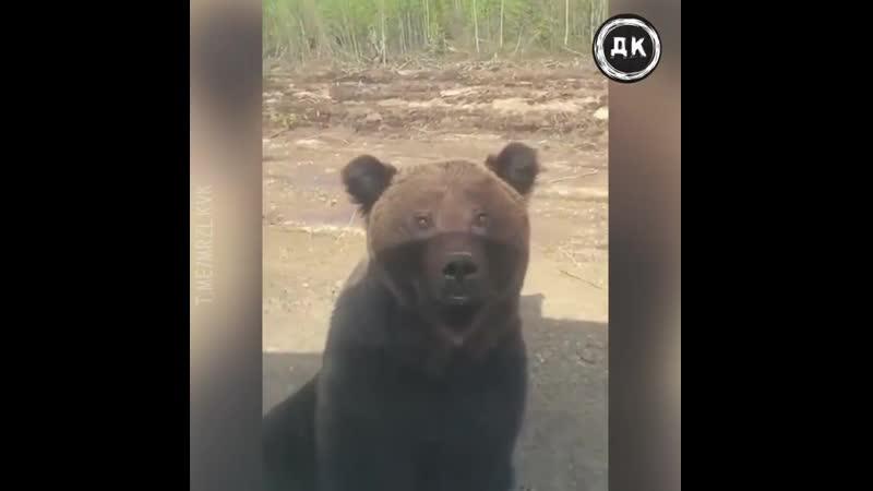 Медведь бросился на авто | Дерзкий Квадрат