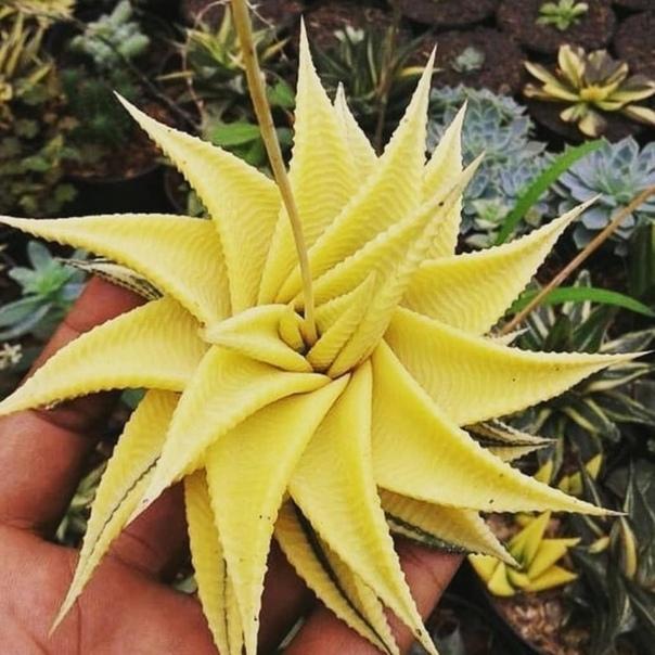 Такие разные суккуленты Суккуленты это не ботаническая категория, а характеристика разных видов растений, способных запасать воду в своих листьях, стеблях и корнях. Суккуленты в природе растут в
