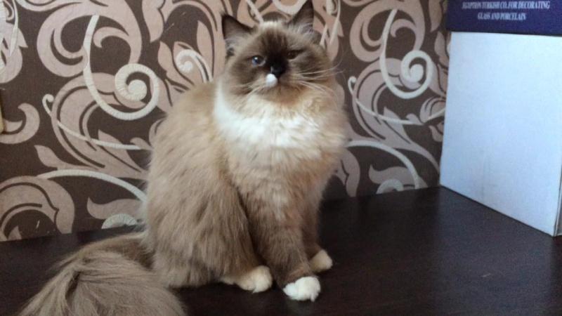 Юника невская маскарадная кошка