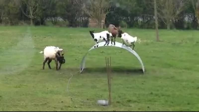 Gоats balanсing оn a stееl ribbоn