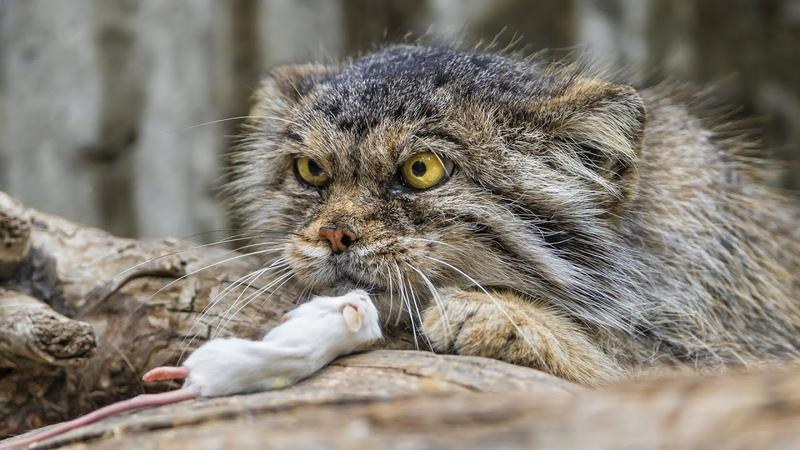 МАНУЛ редкий злобный дикий горный кот И это САМЫЙ ПУШИСТЫЙ представитель семейства